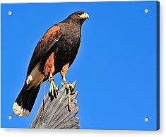 Regal Hawk Acrylic Print by Jim Harris