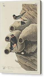 Republican Cliff Swallow Acrylic Print by John James Audubon