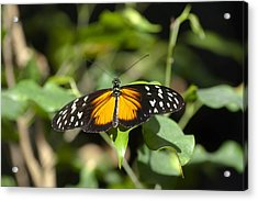 Resting Butterfly Acrylic Print by Sven Brogren