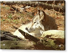 Resting Wolf Acrylic Print by Karol Livote