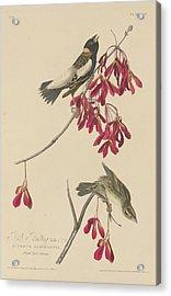 Rice Bunting Acrylic Print by John James Audubon