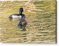 Ring-necked Couple Acrylic Print by Kate Brown