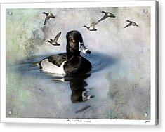 Ring-necked Duck Comrades Acrylic Print by John Williams