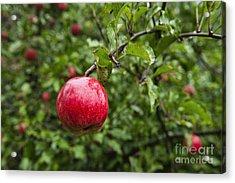 Ripe Apples. Acrylic Print by John Greim