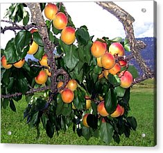 Ripe Apricots Acrylic Print by Will Borden