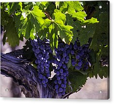 Ripe Grapes Acrylic Print by Garry Gay