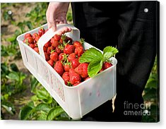 Ripe Strawberries In White Plastic Punnet  Acrylic Print by Arletta Cwalina