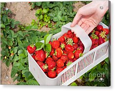 Ripe Strawberries Picked To White Plastic Punnet  Acrylic Print by Arletta Cwalina