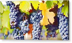 Ripe Wine Grapes Ready For Harvest Acrylic Print by Lanjee Chee