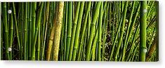 Road To Hana Bamboo Panorama - Maui Hawaii Acrylic Print by Brian Harig