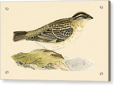 Rock Sparrow Acrylic Print by English School