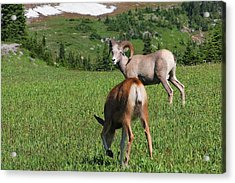 Rocky Mountain Bighorn Sheep Ram And Mule Deer Doe Glacier National Park Mt Acrylic Print by Christine Till