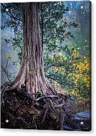 Rooted Acrylic Print by James Barber