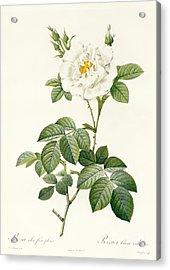 Rosa Alba Flore Pleno Acrylic Print by Pierre Joseph Redoute