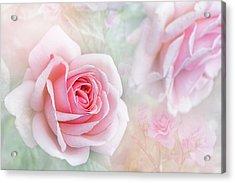Rosa 'aphrodite' Acrylic Print by Jacky Parker