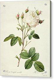 Rosa Centifolia Mutabilis Acrylic Print by Pierre Joseph Redoute