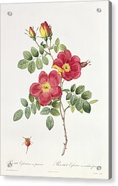 Rosa Eglantera Punicea Acrylic Print by Pierre Joseph Redoute