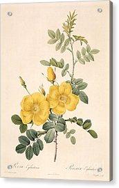 Rosa Eglanteria Acrylic Print by Pierre Joseph Redoute