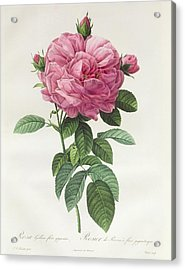 Rosa Gallica Flore Giganteo Acrylic Print by Pierre Joseph Redoute
