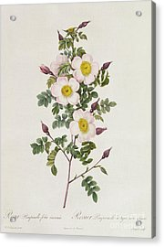 Rosa Pimpinelli Folia Inermis Acrylic Print by Pierre Joseph Redoute
