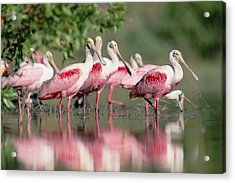 Roseate Spoonbill Flock Wading In Pond Acrylic Print by Tim Fitzharris