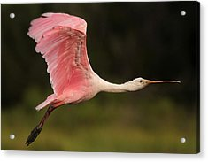 Roseate Spoonbill In Flight Acrylic Print by Phil Lanoue