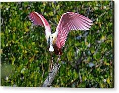Roseate Spoonbill Wings Spread Acrylic Print by Alan Lenk