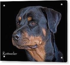 Rottweiler Acrylic Print by Larry Linton