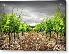 Row Of Vineyard Acrylic Print by Ellen van Bodegom