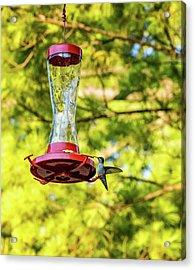 Ruby-throated Hummingbird 2 Acrylic Print by Steve Harrington