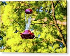Ruby-throated Hummingbird 3 Acrylic Print by Steve Harrington