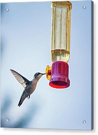 Ruby-throated Hummingbird 4 Acrylic Print by Steve Harrington