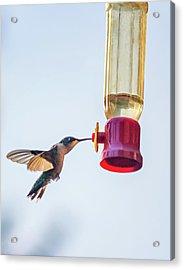 Ruby-throated Hummingbird 5 Acrylic Print by Steve Harrington