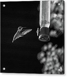 Ruby-throated Hummingbird Bw Acrylic Print by Steve Harrington