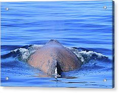 Rusty Humpback Acrylic Print by Shoal Hollingsworth