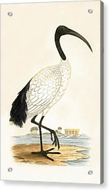 Sacred Ibis Acrylic Print by English School