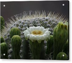 Saguaro Crown Acrylic Print by Feva  Fotos