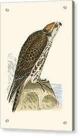 Saker Falcon Acrylic Print by English School