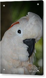 Salmon Crested Cockatoo Acrylic Print by Sharon Mau
