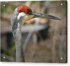 Sandhill Crane Closeup Acrylic Print by Brian M Lumley