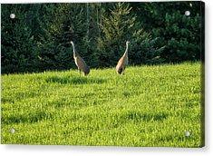 Sandhill Cranes - Wisconsin Acrylic Print by Steven Ralser