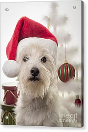 Santa Dog Is Coming To Town Acrylic Print by Edward Fielding