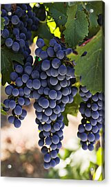 Sauvignon Grapes Acrylic Print by Garry Gay