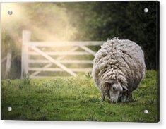 Sheep Acrylic Print by Joana Kruse