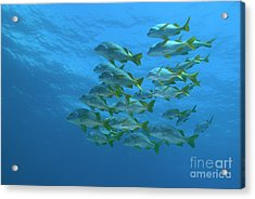School Of Yellowtail Grunt Underwater Acrylic Print by Sami Sarkis