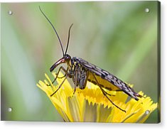 Scorpionfly Acrylic Print by Andre Goncalves