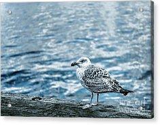 Sea Gull Acrylic Print by Tamyra Ayles