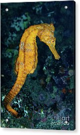 Sea Horse Underwater View Acrylic Print by Sami Sarkis