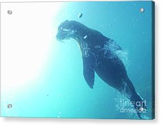 Sea Lion Swimming Underwater  Acrylic Print by Sami Sarkis