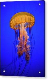 Sea Nettle Jellyfish (chrysaora Quinquecirrha) In An Aquarium Acrylic Print by Patrick Strattner